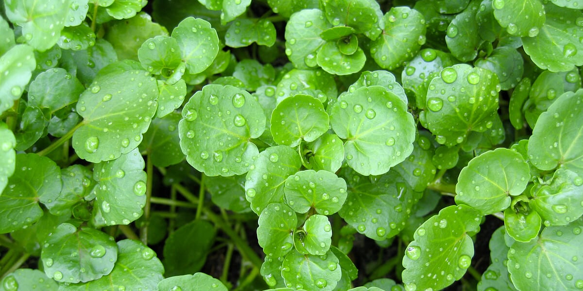 Healthy Food for Kids: Watercress